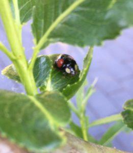 Käfer im Weidenzaun