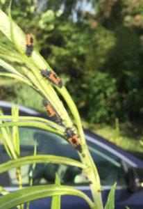 Marienkäferlarve im Weidenzaun