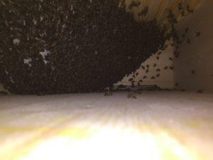 Schwarm in der Bienenkiste am 14.05.