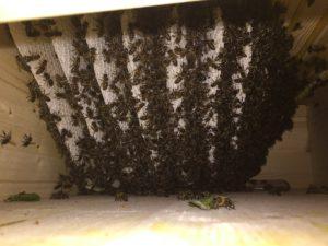 Schwarm in der Bienenkiste am 26.05.