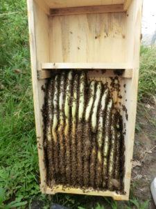 Bienenkiste geöffnet
