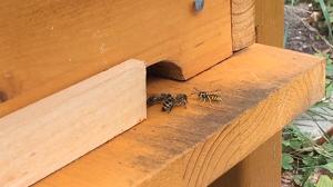 Eine Wespe im Anflug an die Bienenkiste