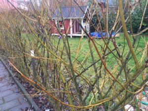 Der lebende Weidenzaun im zweiten Winter